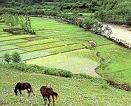 Rice fields in the Mazanderan province